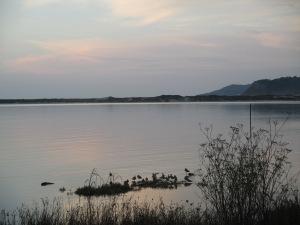 Grupo de mazaricos rabinegros (limosa limosa) no estuario do Anllóns