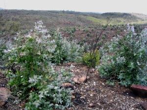 regeneracion eucalipto
