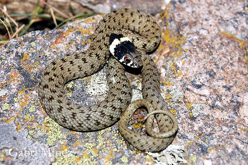 10 Xuvenil Cobra Colar