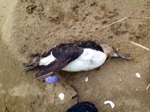 Cadáver de Arao. Foto Juan V.S.
